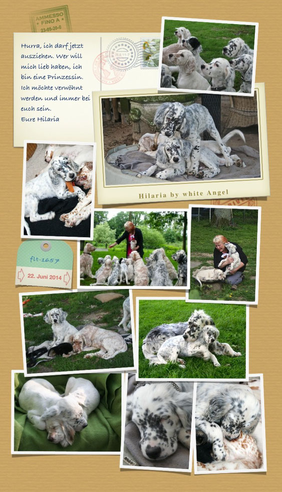 English Setter Hilaria by white Angel Juni 2014 www.angel-setter.de