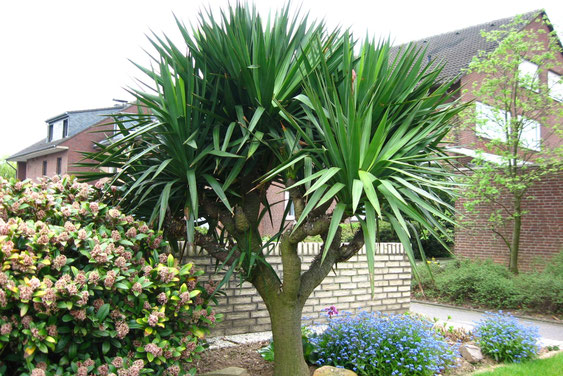 Bild Yucca gloriosa/recurvifolia (c) Martin Werner