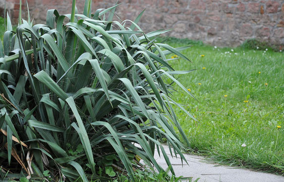 Bild Yucca flaccida, hierzulande oft in Gärten und Parks zu finden