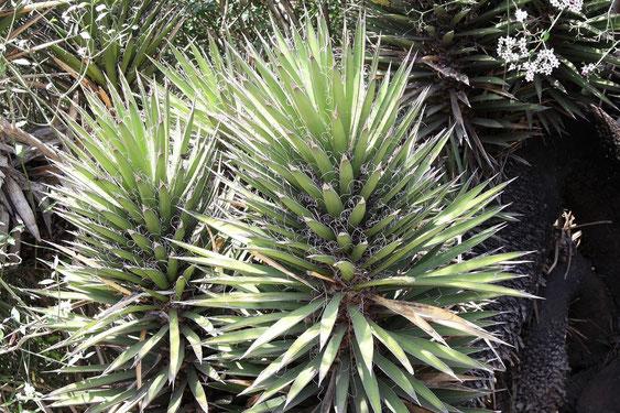Bild Yucca valida (c) Christian Zolles