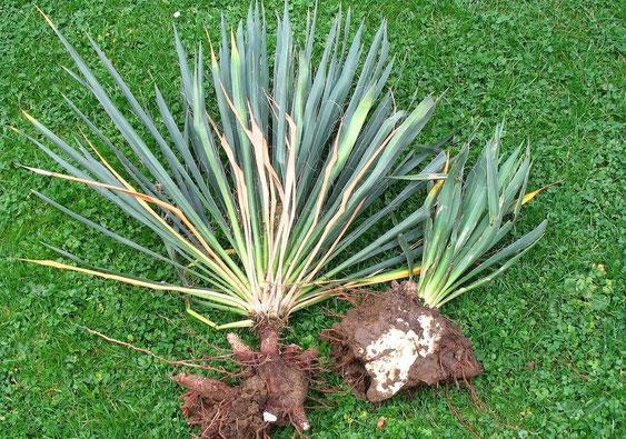 Bild Kräftiges Rhizomsystem an Yucca filamentosa/flaccida