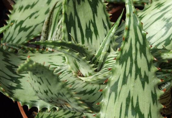 Bild Zerfließendes Muster an Aloe Spec..(c) Thomas Boeuf