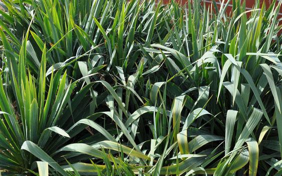 Bild: Verschiedene Pflanzen aus dem Y. filamentosa/flaccida - Komplex/Boga Halle