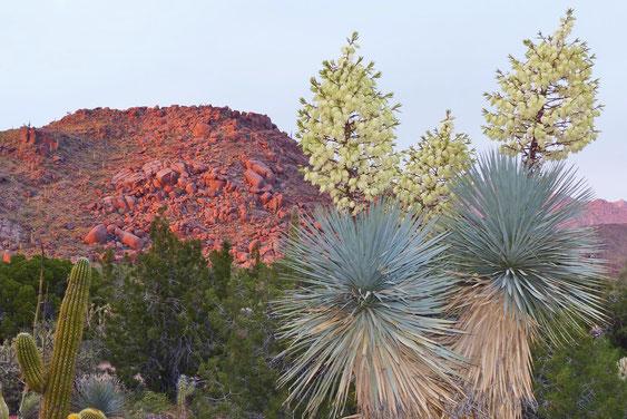 Bild: Yucca rigida • USA (c) Jan Emming
