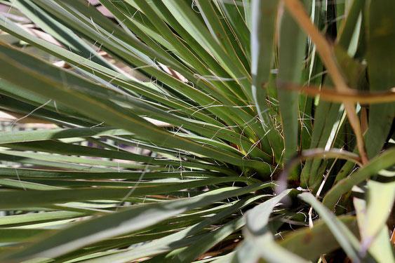 Bild Yucca schottii X elata-Blätter(c) Horst Faber