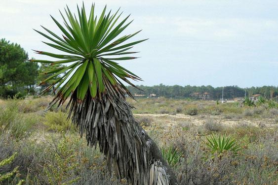 Bild Yucca gloriosa Cap Ferret