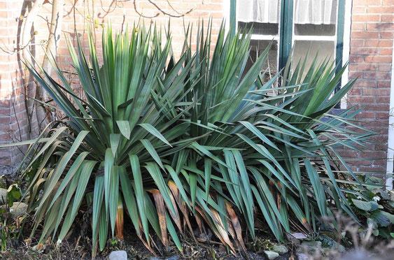 Bild Yucca recurvifolia (= Y. gloriosa var. tristis)