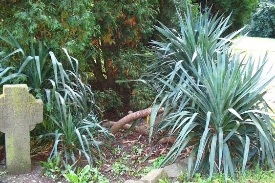 Bild Klassische Yucca recurvifolia (c) Martin Werner