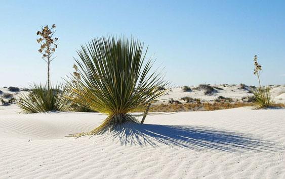 """Bild Yucca elata """"White Sands"""" © Scheidle"""