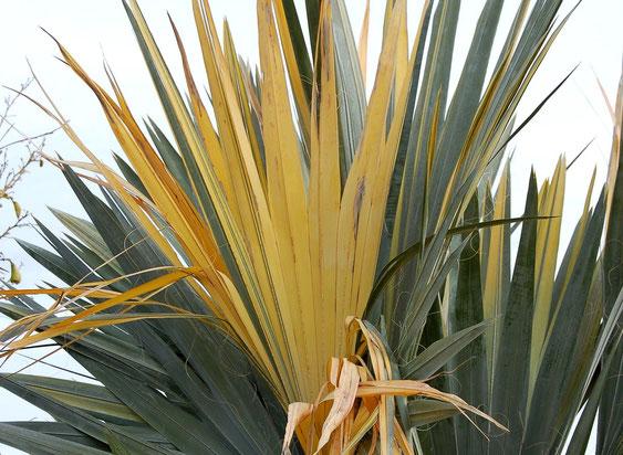 Bild W. filifera mit panaschierten Blattsegmenten (c) S. Weißbeck