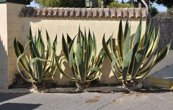 Bild Agave americana ist weltweit eine beliebte Zierpflanze