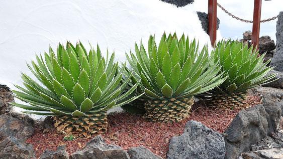 Bild Kultivierte Agaven auf den Kanaren