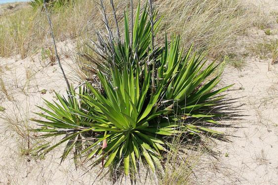 Bild Yucca gloriosa Süd Frankreich (c) Frederic Julien