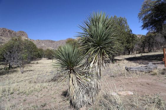Bild Yucca schottii X elata (c) Horst Faber