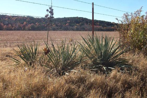 Bild Yucca necopina • Somervell county • TX © David Richardson