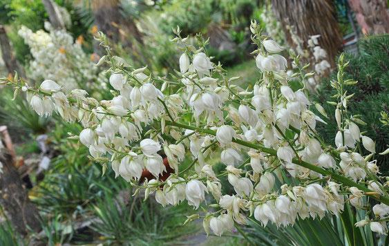 Bild: Unzählige Einzelblüten an den Blütenständen sollen Bestäuber anlocken