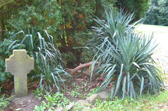 Bild Yucca recurvifolia (c) Martin Werner