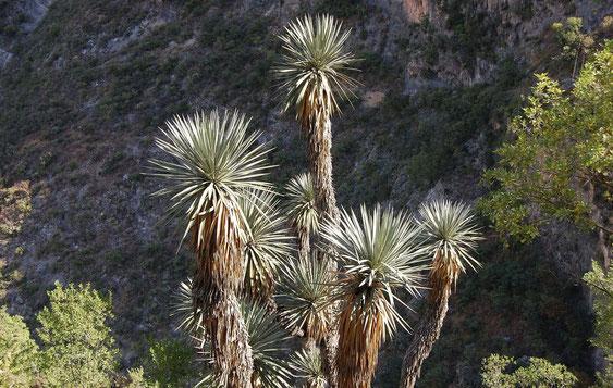 Bild Yucca potosina © Paul Spracklin