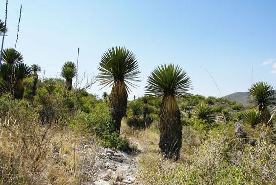 Bild Yucca potosina  Charco Blanco MEX © Bertus Spee