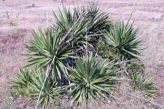 Bild Klassische Yucca gloriosa (c) Frederic Julien