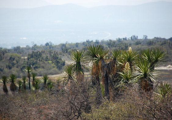 Bild Yucca periculosa © Paul Spracklin