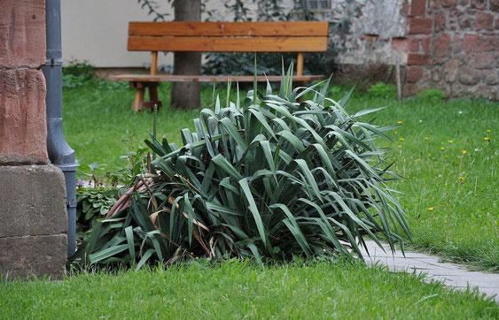 """Bild Immergrüne Akzentpflanzen - Stammlose """"Palmlilien"""""""