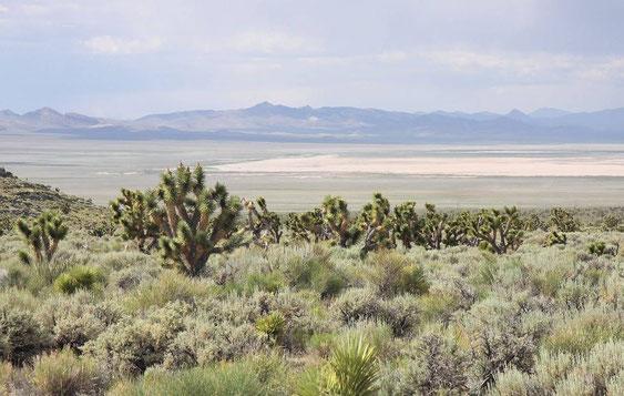 Bild Yucca brevifolia © Zolles
