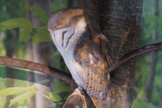 顔がハートのふくろうちゃん。眠っている顔もかわいい!