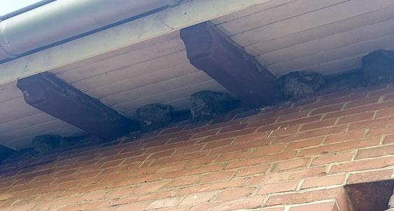Nest, Mehlschwalbe