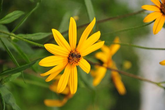 無農薬栽培のキクイモはハチやチョウの憩いの場@自給のための野菜づくり教室・さとやま農学校