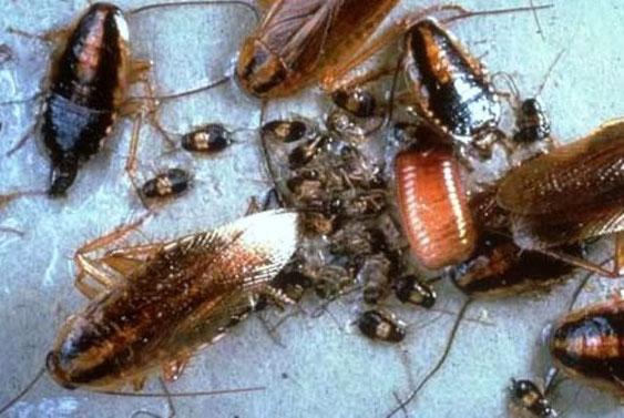Schaben Kakerlaken Deutsche Schabe Biozida