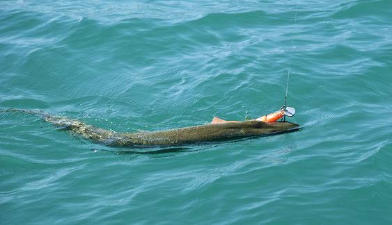 112cm Hecht schnappt sich einen Swimbait von www.hechtguide.com