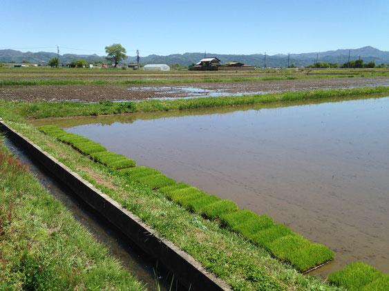 田植えスタンバイ中の苗たち