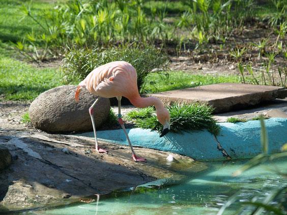 Зоопарк Барселоны, фламинго