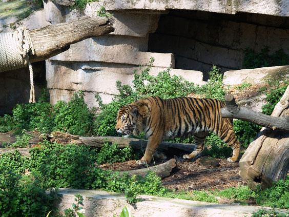 Зоопарк Барселоны, тигры