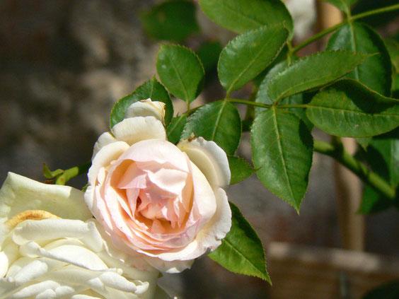 Merveilleuse rose Pierre de Ronsard