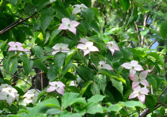 ピンクのヤマボウシ