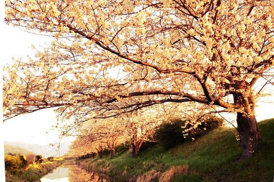 北の庄沢の桜