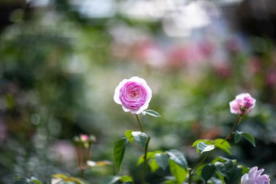 練馬区 光が丘 四季の香ローズガーデン 家族写真 子供写真 女性カメラマン 入園 写真館