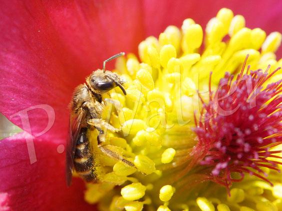 Bild: Wildbiene an der Kuhschelle