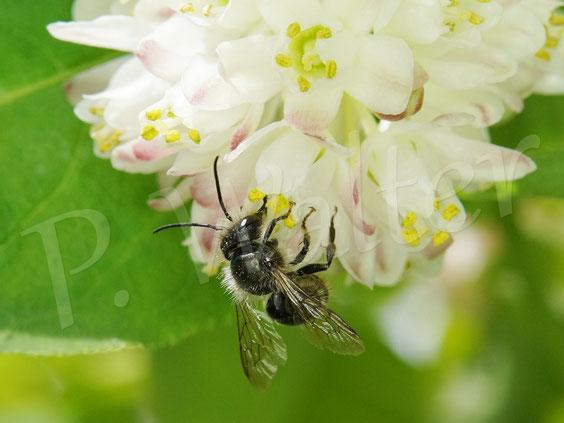 Bild: Männchen einer Mauerbiene, Osmia spec., an der Gemeinen Pimpernuss