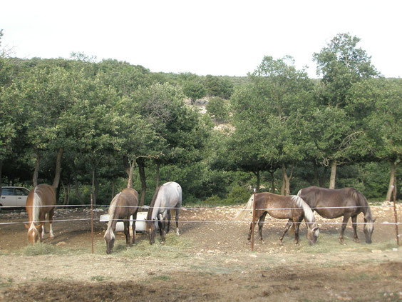 elevage rocky mountain horse foal for sale