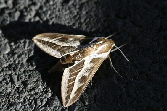 Linienschwärmer   Hyles livornica   La Gomera