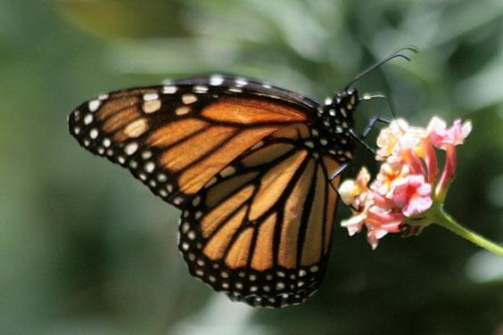 Monarch  /    Danaus plexippus / La Gomera