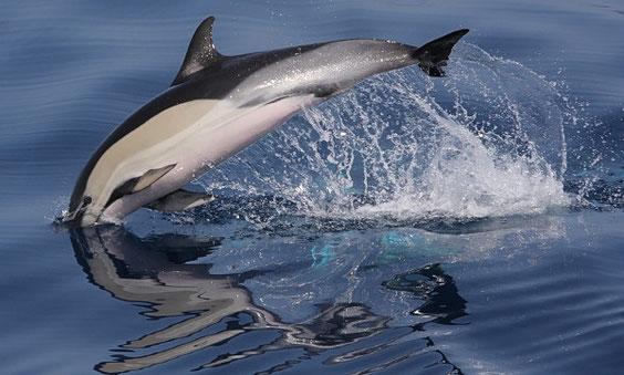 Gemeiner Delfin  Delphinus delphis