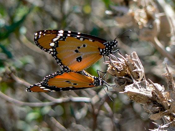 Afrikanischer Monarch    Danaus chrysippus   La Gomera