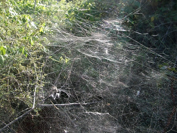 Opuntienspinne (Cyrtophora citricola)  La Gomera