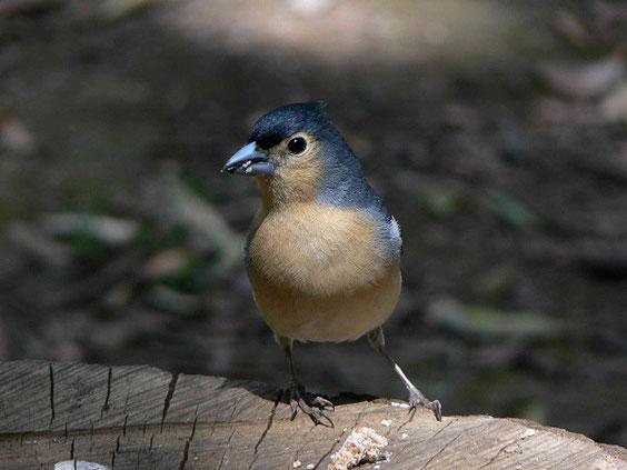 Kanarenbuchfink Fringilla coelebs canariensis La Gomera