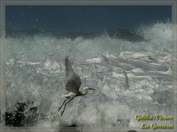 Seidenreiher im Sturm © Henner Riemenschneider Gekko-Vision La Gomera