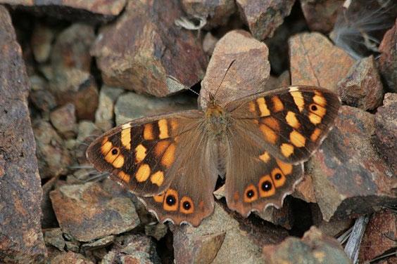 Kanaren-Waldbrettspiel / Pararge xiphioides La Gomera © Henner Riemenschneider Gekko-Vision La Gomera